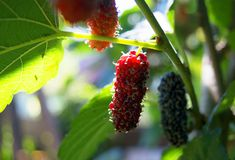 Mulberry fruit and beautiful sun light in the garden at home. Mulberry fruit growing up in the garden at home, tasty fruit for everyone Royalty Free Stock Images