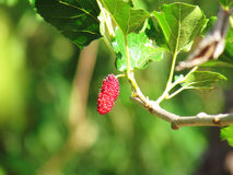 Mulberry Fruit leaf extract on tree Royalty Free Stock Photography