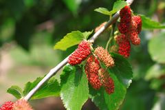 Mulberry. The mulberry fruit is a multiple fruit, approximately 2–3 cm 3⁄4–1 1⁄4 in long. Immature fruits are white, green, or pale stock image