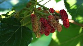 Mulberry Fruit on the tree. Mulberry fruit, red black under the shade of green leaves in garden stock video footage