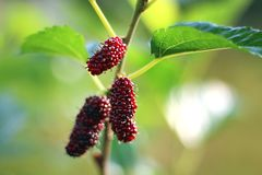 Mulberry fruits also known as Morus rubra for the red species. Mulberry fruits branch also known as Morus rubra for the red species stock image