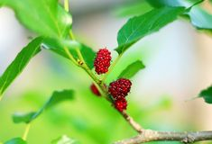 Mulberry fruits also known as Morus rubra for the red species. Mulberry fruits branch also known as Morus rubra for the red species royalty free stock photography