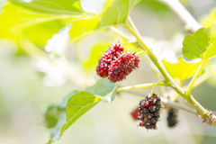 Mulberry fruits in nature backgrounds. Stock Photo