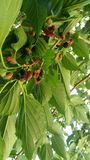Mulberry fruits on tree Royalty Free Stock Photography