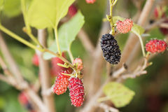 Mulberry fruits on tree in the garden. Royalty Free Stock Photography