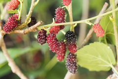 Mulberry fruits on tree in the garden. Stock Image