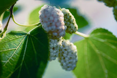 Mulberry fruits. White mulberry fruits on a branch Stock Photos