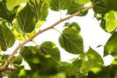 Mulberry green leaves on a sky background. stock images