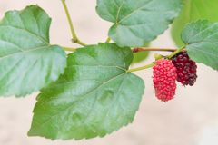 Mulberry group hanging on the branch of tree , healthy berry fruit nature patterns background stock photo