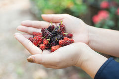 Mulberry in hand. Fresh red mulberry in hand royalty free stock images