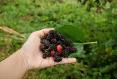 Mulberry. A hand holding group of mulberries Stock Photography