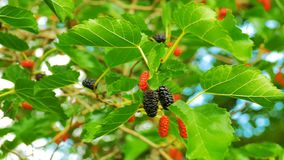 Mulberry Hanging on Tree Branches against the Sky. Selective focus mulberry fruit on tree, fresh berry in nature. Ripe berry hanging on Morus tree branch stock video footage
