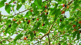 Mulberry Hanging on Tree Branches against the Sky. Selective focus mulberry fruit on tree, fresh berry in nature. Ripe berry hanging on Morus tree branch stock video