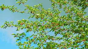 Mulberry Hanging on Tree Branches against the Sky. Selective focus mulberry fruit on tree, fresh berry in nature. Ripe berry hanging on Morus tree branch stock footage