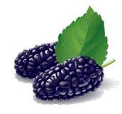 Mulberry illustration royalty free illustration