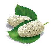 Mulberry illustration Stock Photo