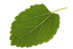 Mulberry leaf Royalty Free Stock Photography