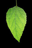 Mulberry leaf. A isolated mulberry leaf in black background royalty free stock photos