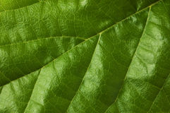 Mulberry Leaf. In soft light Stock Images