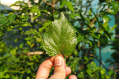 Mulberry leaf. Stock Photos