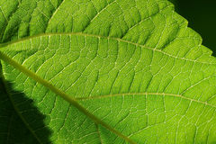 Mulberry leaf Royalty Free Stock Image