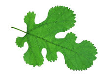 Mulberry leaf Stock Photo