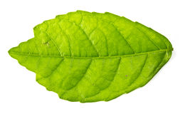 Mulberry leaf isolated Stock Images