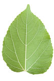 Mulberry leaf isolated on a white Royalty Free Stock Photography