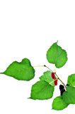Mulberry with leaf Royalty Free Stock Photography