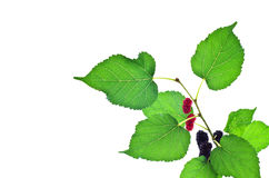 Mulberry with leaf Stock Photo