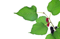Mulberry with leaf Stock Image