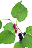 Mulberry with leaf Stock Photos