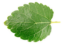 Mulberry leaf isolated on a white background Stock Photography