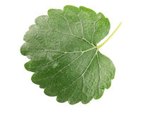 Mulberry leaf isolated on a white background Royalty Free Stock Photo
