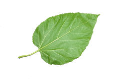 Mulberry leaf isolated on white background Royalty Free Stock Image