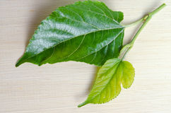 Mulberry leaf isolated on wood background Stock Photography