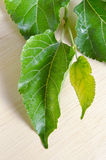 Mulberry leaf isolated on wood background Royalty Free Stock Images
