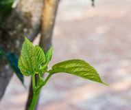 Mulberry leaf tree at field Royalty Free Stock Photography