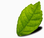 Mulberry leaf on a white Royalty Free Stock Image