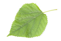 Mulberry leaf Royalty Free Stock Images