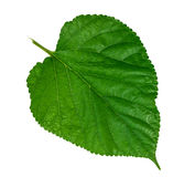 Mulberry leaf on white background Royalty Free Stock Photography