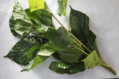 Mulberry leaf Stock Photos