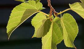 Mulberry leaves Stock Image