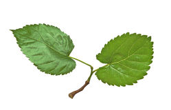 Mulberry leaves stock images