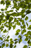 Mulberry leaves. Leaves of mulberry tree against cloudy sky Stock Photography