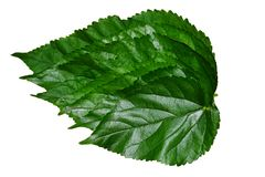 Mulberry leaves isolated on a white background. Abstract Background of Fresh Big Mulberry Leaves or Morus on Tree Used to Make Tea and Ingredient for A Delicious stock photos
