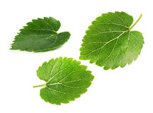 Mulberry leaves isolated on the white background Stock Images