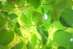 Mulberry Leaves or Morus Branch on Tree Stock Photo
