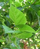 Mulberry Leaves or Morus Branch on The Tree Stock Image