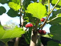 Mulberry and leaves. Mulberry and green leaves on mulberry tree Royalty Free Stock Image